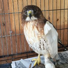 A rescued red tailed hawk in recovery