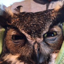 Rescued great horned owl