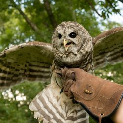 Resident Barred Owl Hoot displaying his wings