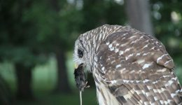 A Barred Owl enjoying a fresh mouse