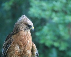 Cinnamon, resident red shouldered hawk
