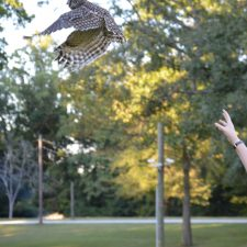 Lisa Snyder releases a rehabbed barred owl