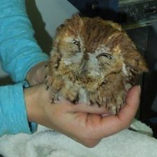 Rescued eastern screech owl