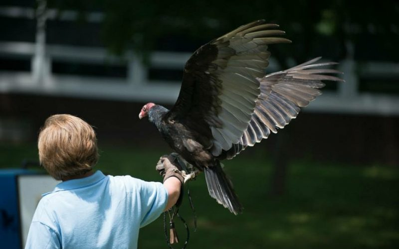 Regina Akin showing off the amazing wing span of resident Turkey Vulture Basil