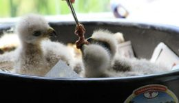 Rescued fledglings at meal time