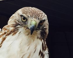 A fierce red tailed hawk
