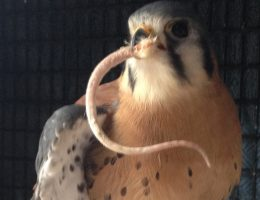 Resident American Kestrel Skylar savoring the tail of a mouse