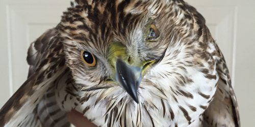 A rescued raptor with an injured eye