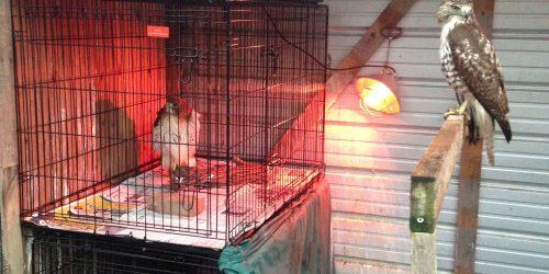 Raptor patients in rehab