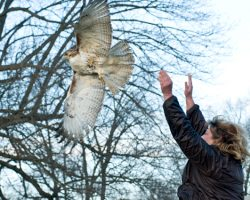 Dr. Margie Garret releases a rehabbed red tailed hawk