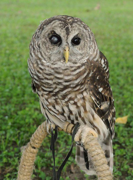 Luna (Barred Owl, female) - The Talon Trust The Talon Trust