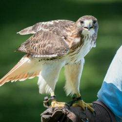 A Red Tailed Hawk at an outdoor program