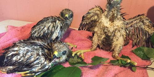Rescued fledgings