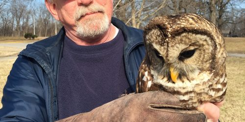 Charlie Carper rescuing a barred owl.