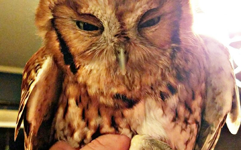 Rescued female eastern screech owl