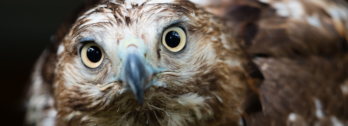 A wet red tailed hawk caught in the rain, up close and personal.