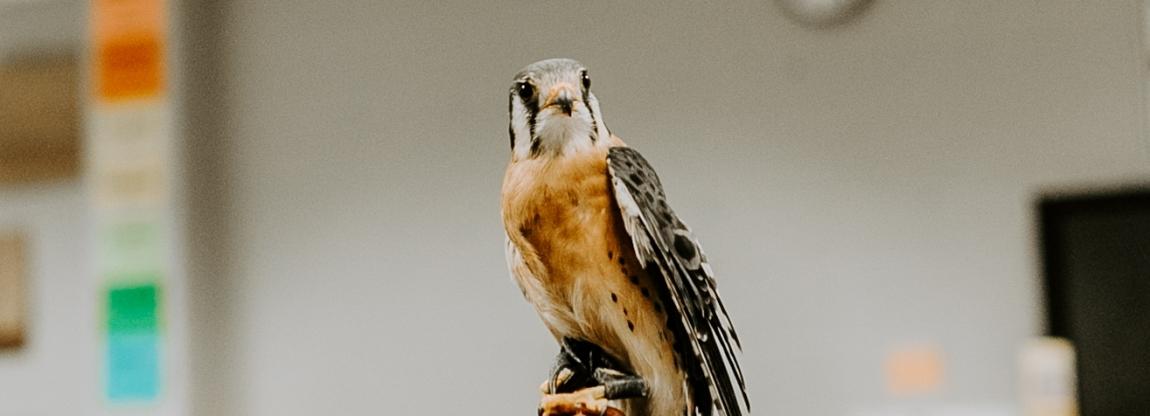 Talon Trust's ambassador Pippin, an American kestrel.